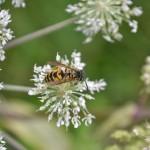 Blüte mit Wespe von Markus Stapff