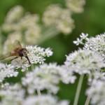 Blüten mit Fliege
